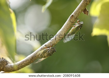 An Image of Cicada