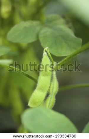 An image of Edamame ripe - stock photo