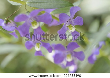 An Image of Flowers Angeronia