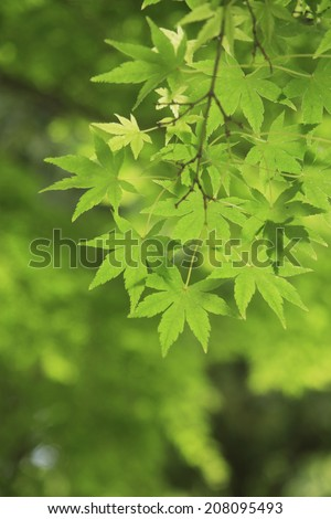 An image of Fresh Green Maple