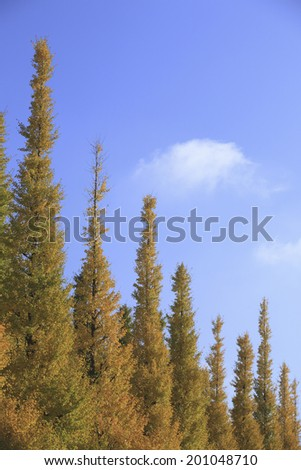 An Image of Ginkgo