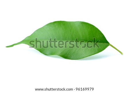 An image of green leaf on white