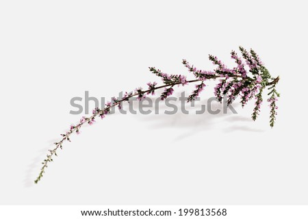 An image of Heather - stock photo