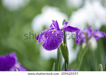 An Image of Iris Garden