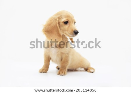 An Image of Miniature Dachshund Puppy