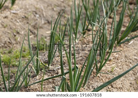 An image of Onion field