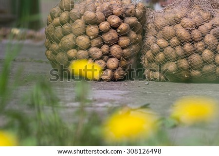 an image of organic potatoes in the field - stock photo