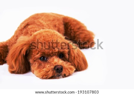 An image of Poodle limp