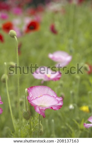 An image of Poppy