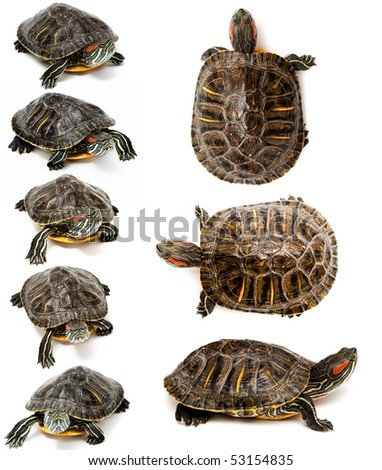 An image of Red Eared Slider Turtles on white background - stock photo