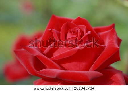An Image of Rose