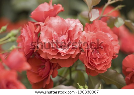 An image of Rose Trumpeter