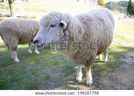 An Image of Sheep