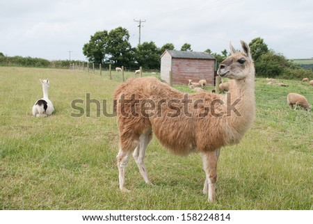 An Image of some Alpacas at a farm in Cornwall, U.K.  - stock photo