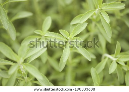 An image of Stevia field - stock photo