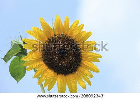 An Image of Sunflower