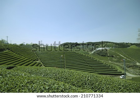An Image of Tea Plantation