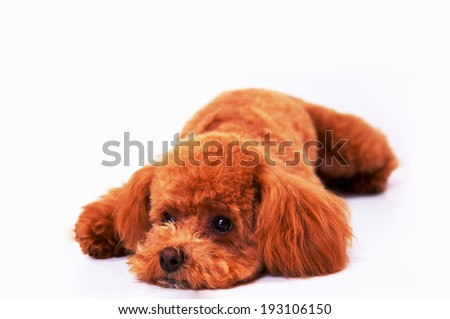 An image of Tired poodle