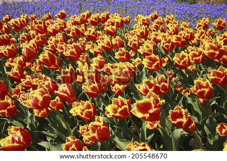 An Image of Tulip Garden