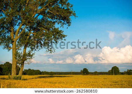 An image of Wheat field in late June - stock photo