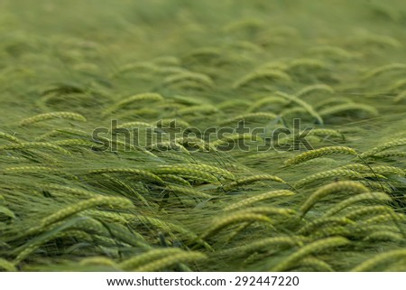 an image of wheat field on a summer day - stock photo