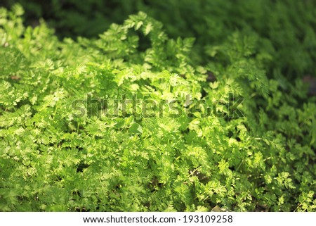An image of Wormwood