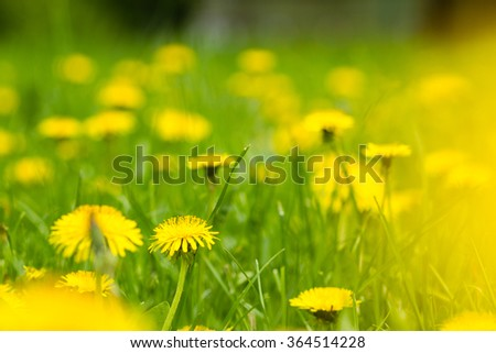 an image of Yellow dandelion flowers with leaves in green grass - stock photo