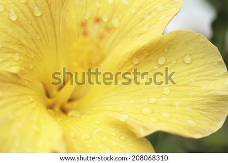 An Image of Yellow Hibiscus