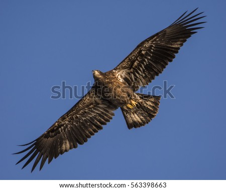 An Immature Bald Eagle searching for fish