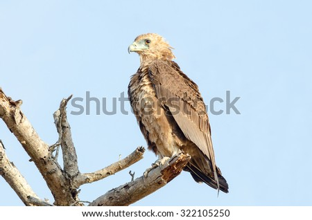 An immature Bateleur eagle perched on a dry tree