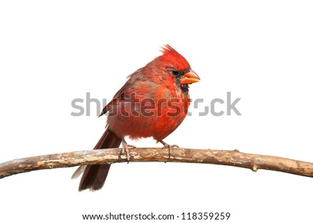 An immature cardinal slowly molts its feathers from brown to red, perched on a branch, white background