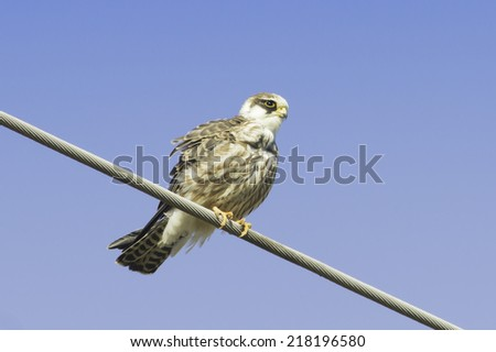 an immature female of red-footed falcons [Falco vespertinus]  - stock photo