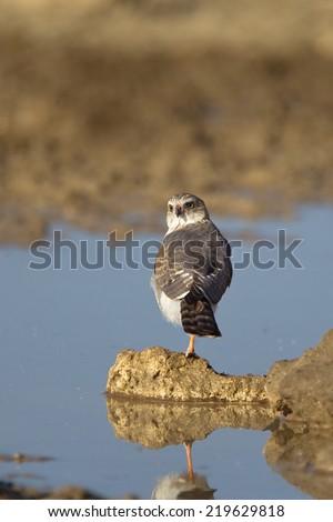 An immature Gabar Goshawk (Micronisus gabar) stood on one leg at a waterhole, back to the camera but looking at the camera, Kalahari desert, South Africa - stock photo