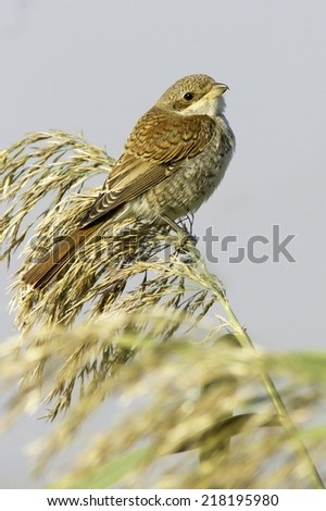 an immature of Red-backed Shrike on reed (Lanius collurio)  - stock photo