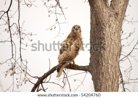 An immature re-tailed hawk (buteo jamaicensis) sitting in a tree. - stock photo
