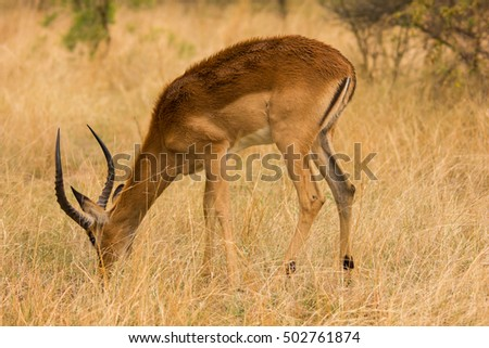 An impala at a South African game reserve.