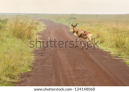 An impala crossing a dirt road in the grasslands of the Nairobi National Park - stock photo