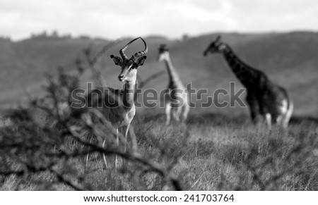 An impala ram with two giraffe in the background. Typical Africa image.  - stock photo
