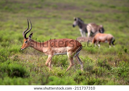 An impala with a blesbuck and a zebra in the background. - stock photo