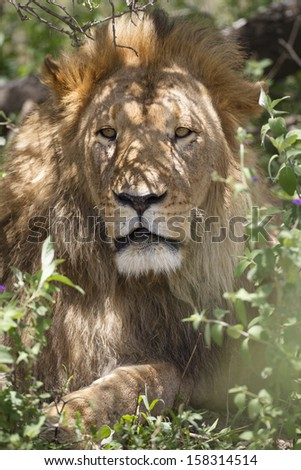 An impressive male lion relaxing in the shade of a bush, Ngorongoro Conservation Area, Tanzania - stock photo