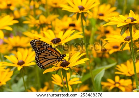 An increasingly rare Monarch butterfly feeds on the nectar of some wildflowers in a Wisconsin park on a warm late summer day. - stock photo