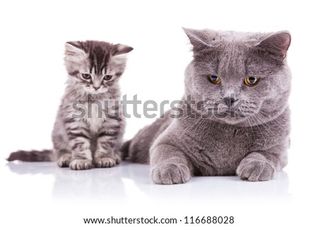 an incredibly adorable english kitten sitting next to a lying adult both looking down, on a white background - stock photo