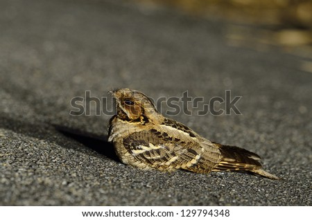 An Indian Nightjar lying down the road in the night time