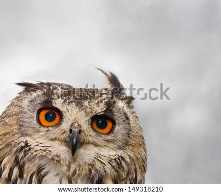 An Indian or Bengal Eagle owl pears into the camera./Indian (Bengal) Eagle Owl close-up - stock photo