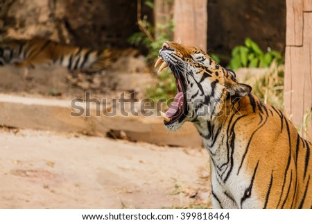 An Indian tiger in the wild. Royal ,Bengal tiger - stock photo