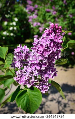 An inflorescence of Syringa is photographed closely at the moment of blooming. - stock photo