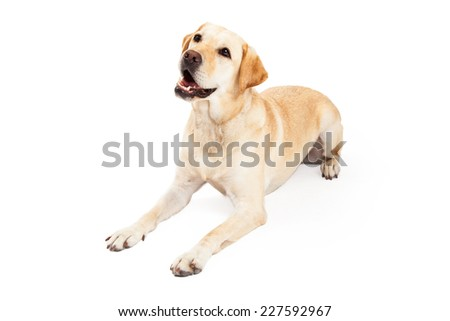 An inquisitive yellow Labrador Retriever Dog laying at an angle while looking upwards.