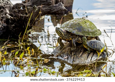 An Interesting Pair of  Yellow-bellied Slider (Trachemys scripta scripta) Turtles Sunning on a Log at Brazos Bend State Park, Texas.