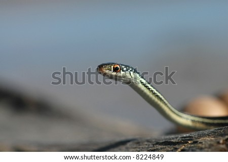 An interesting portrait of an attractive little ribbon snake.