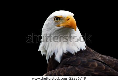An isolated Bald Eagle (Haliaeetus leucocephalus). - stock photo
